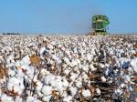 Residuo de algodón