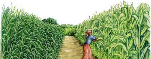 Mejoran el rendimiento del maíz cultivado en suelos pobres con composts enriquecidos en bacterias solubilizadoras de fósfato